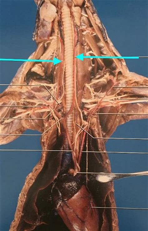 Mink Thoracic Cavity Flashcards   Easy Notecards