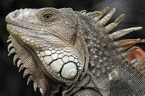 Top 10 Must-Know Iguana Care Sheet Facts - ZoomTens