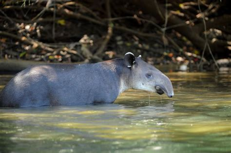 The Baird's Tapir provides a great reason to explore Costa