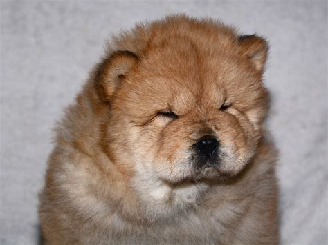 Gregor - Chow Chow Puppy for sale | Euro Puppy