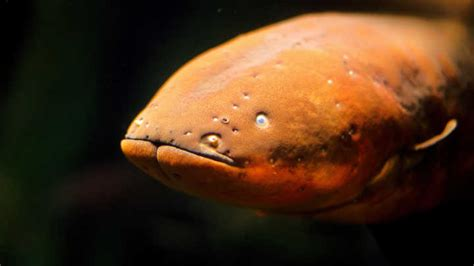 Electric Eels Found To Leap Out Of Water To Shock