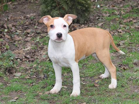Sasha - American Staffordshire Terrier Puppy for sale