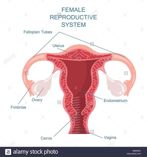 Reproductive System Stockfotos & Reproductive System