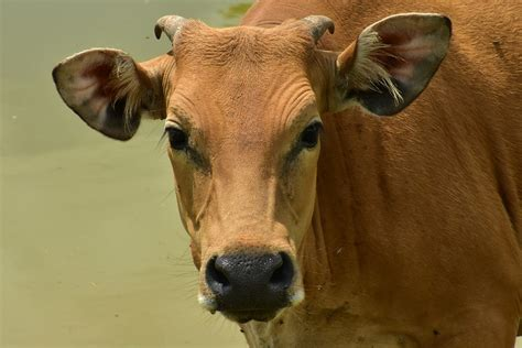Cow's dramatic escape on the way to slaughterhouse is