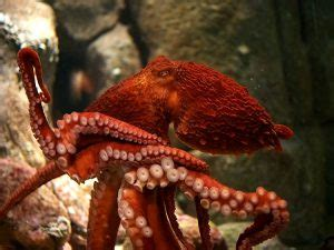 Giant Pacific Octopus Facts, Habitat, Diet, Life Cycle