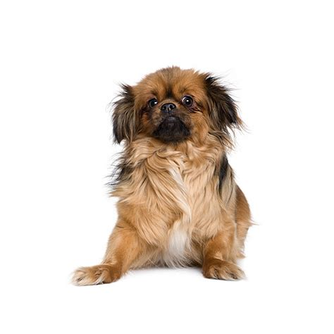 Tibetan Spaniel - everything about this dog breed