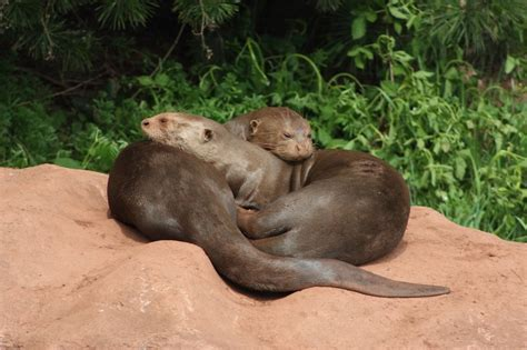 Giant Otter Facts, Habitat, Diet, Life Cycle, Baby, Pictures