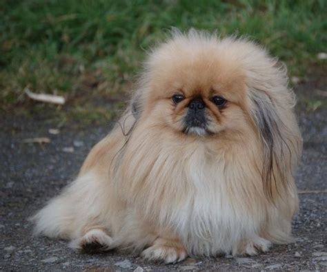 Pekingese Breed Description: History and Overview